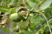 Wallnussbaum